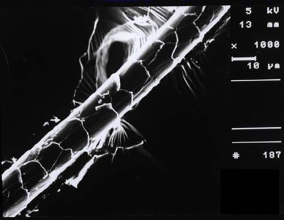 REM-Aufnahme einer Kaschmirfaser. Foto: Gabriele Schrade